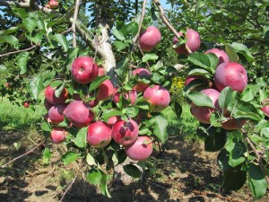 Paula Red Apples at Hope Orchards
